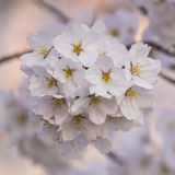 Details of a Bundle of Cherry Blossoms in Washington DC Royalty Free Stock Photo
