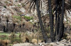 Details of burned palm trees on Preveli beach Stock Images