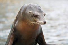 California Sea Lion Stock Image