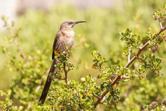 Details of a Cape Sugarbird royalty free stock images