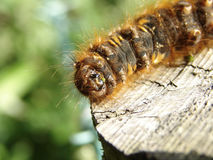 Details of caterpillar. Closeup of a large caterpillar on a wooden post Stock Image