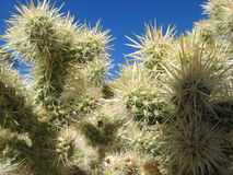 Details of a Cholla Cactus Stock Images