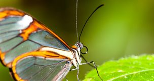 Details of clearwing butterfly with transparent `glass` wings Greta oto closeup. Sitting on a green leaf. Photo with green bokeh background out of focus Stock Photography