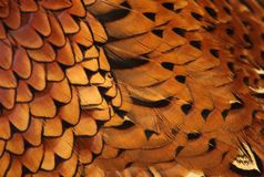 Details of common pheasant feather Royalty Free Stock Photography