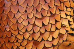 Details of Common Pheasant plumage (Phasianus colchicus) Stock Image