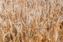 Details of common wheat Stock Photo