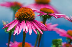 Details of  Coneflower Stock Image