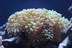 Large white coral. Underwater view of large white coral growing on coral reef Stock Image