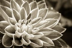 Details of dahlia fresh flower macro sepia photography. Details of dahlia fresh flower macro photography. Sepia photo emphasizing texture and intricate floral Stock Images