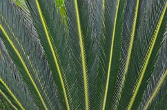 Details of dark green pattern of cycad leaves. Details of dark green art pattern of cycad leaves close up Royalty Free Stock Photos
