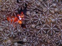 Details der empfindlichen Seekoralle Lizenzfreie Stockfotografie
