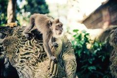 Details des Dschungels mit Porträt des Affen ausdrucksvoller langschwänziger Affe, der für Lebensmittel läuft Stockfoto