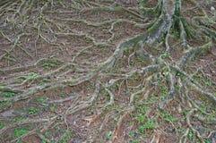 Details des oben genannten Bodens wurzelt mit kleinen Anlagen und Moos im f Lizenzfreie Stockfotografie