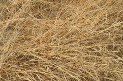 Details of dry grass in nature Royalty Free Stock Photo