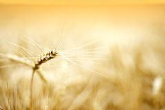Details of ear of wheat Royalty Free Stock Photography