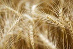 Details of ears of wheat Royalty Free Stock Images