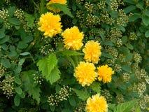Details einer gelben blühenden Pflanze Kerria-japonica pleniflora Lizenzfreies Stockfoto