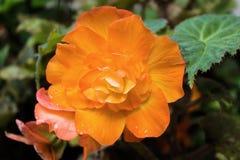 Details einer orange Blume Lizenzfreies Stockbild