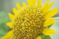 Details einer Sonnenblume Lizenzfreies Stockbild