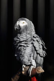 Afrikanisches Grau-Papagei, Psittacus Erithacus Stockbild