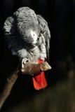 Afrikanisches Grau-Papagei, Psittacus Erithacus Lizenzfreie Stockfotografie