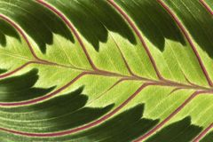 Details of a Leaf. Details of a exotic leaf Royalty Free Stock Image