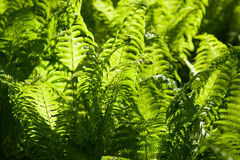 Details of the fern grasses in the spring forest Royalty Free Stock Images