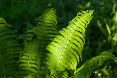 Details of the fern grasses in the spring forest Stock Image