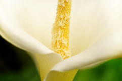 Details of a flower of white calla Royalty Free Stock Photography