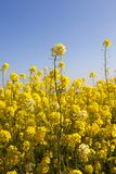 Details of flowering. Colza or coleseed in spring field, photo close-up on blue sky background royalty free stock photos