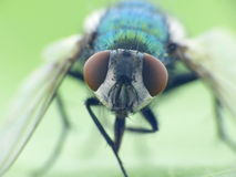 Details of a fly royalty free stock photo