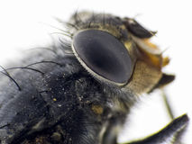 Details of a fly royalty free stock photography