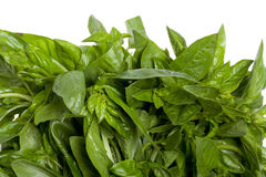Details of fresh basil leaves Stock Photography