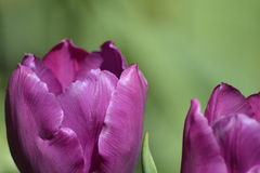 Details from fresh tulips Royalty Free Stock Photo