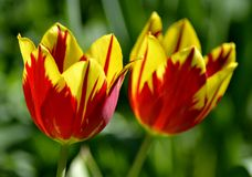 Details from fresh tulips Stock Image