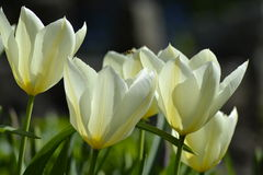 Details from fresh tulips Royalty Free Stock Images