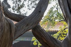Details of gnarled trees in Forbidden City in Beijing stock image