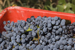 Details of grapes collected. Details of grapes picked during the harvest Royalty Free Stock Images
