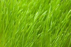 Details of green grass Royalty Free Stock Image