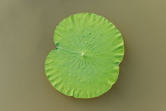 Details of  green lotus leaves over water. Royalty Free Stock Image