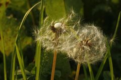 Almost blown away by the wind dandelion. Group of dandelions. stock photography