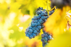 Details of healthy red grapes on vineyard. autumn landscape with ripe grapes ready for wine Royalty Free Stock Photo