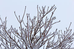 Details of icy dogwood tree. Dogwood tree encased in ice during mid-winter. Photographed in Northern Virginia Royalty Free Stock Image