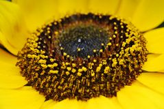 Details of the internal macro of a sunflower royalty free stock images