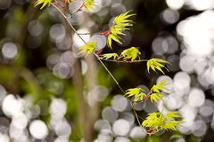 Details of Japanese Maple Tree Royalty Free Stock Photography