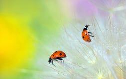 Details of ladybugs on dandelion Stock Image