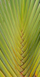 Traveler's palm. Details of leaf stalk of traveler palm Royalty Free Stock Photography