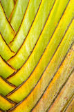 Details of leaf stalk of traveler palm. In the park thailand Stock Photos