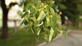 Details of lime tree of linden branch with green leaves and buds. Closeup shot stock video