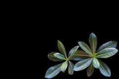 Details and lines of a big green leaf with black background Royalty Free Stock Photography